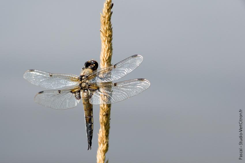 Eygurande Aout 2013 - Demoiselles à 4 ailes
