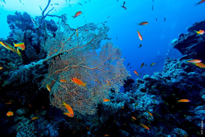 Corail éventail en plongée sous-marine - Egypte - Atelier photographique de Pascal Lépine - Studio vertcitron